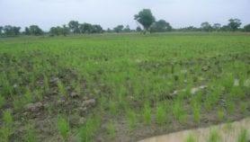 Une invention réduit de moitié la quantité d'eau pour l'irrigation du riz