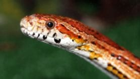 Une matrice contre les morsures de serpent