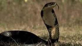 Dossier : Les morsures de serpents