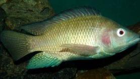 De nouvelles maladies menacent l'aquaculture