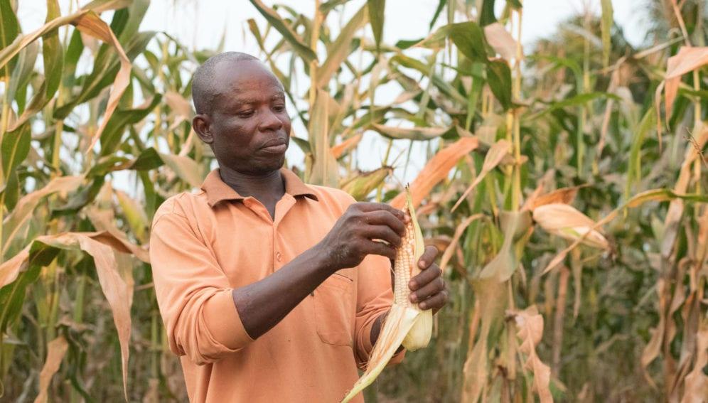 aflatoxin affected maize