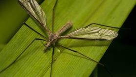 Les manipulations génétiques pour vaincre le paludisme