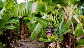"""L'Ouganda """"pourrait produire une banane enrichie à la vitamine A d'ici 2020"""""""