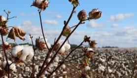 Coton OGM : Les Burkinabé à la croisée des chemins