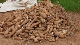Culture du manioc : L'Afrique centrale se mobilise