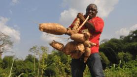 Mettre la science au service du manioc