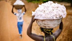 Relation entre utilisation du coton GM et hausse du nombre de pucerons