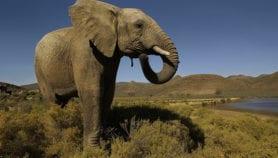 Q&R: Comment exploiter durablement l'ivoire?