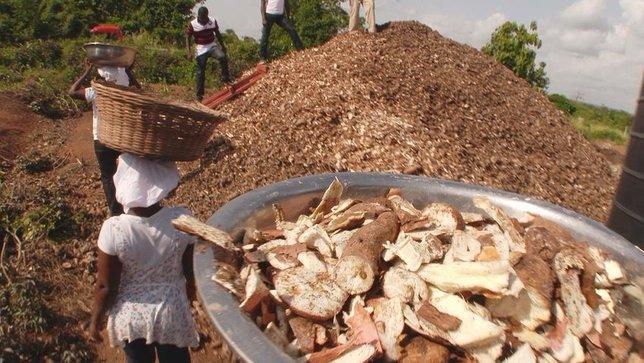 Epluchures de manioc