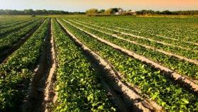 Agriculture: Plaidoyer pour un fertilisant prometteur
