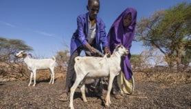 Un vaccin unique pour prévenir cinq maladies animales