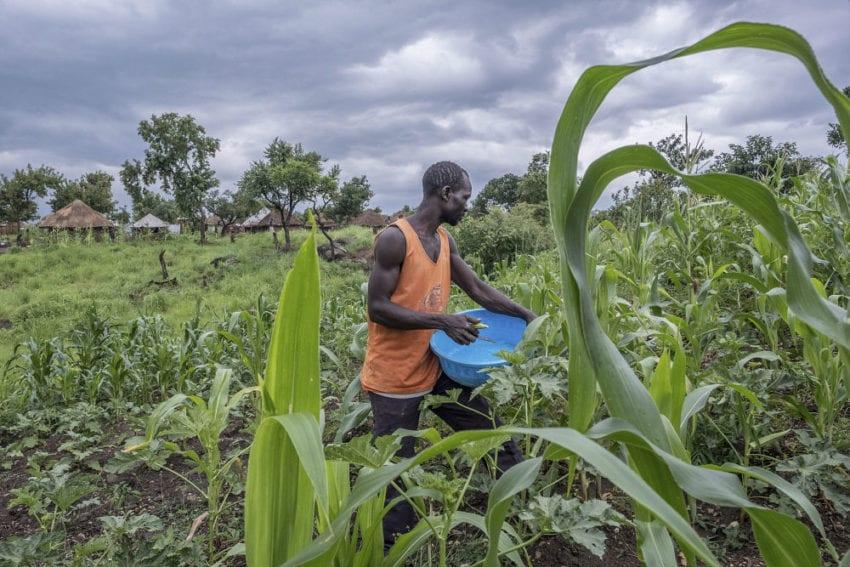 Harvests okra on his plot of land in Bidi Bidi camp