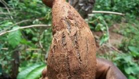 Découverte des marqueurs génétiques de maladies virales du manioc