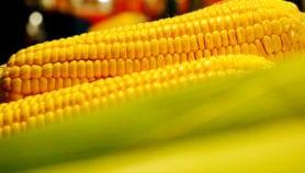 Le Kenya met au point sa première variété de maïs transgénique