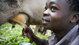 La recherche pour renforcer la filière lait en Afrique