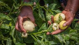Comment produire plus de légumes avec moins d'engrais