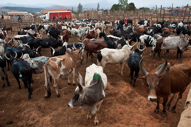 Livestock in Afrika 1