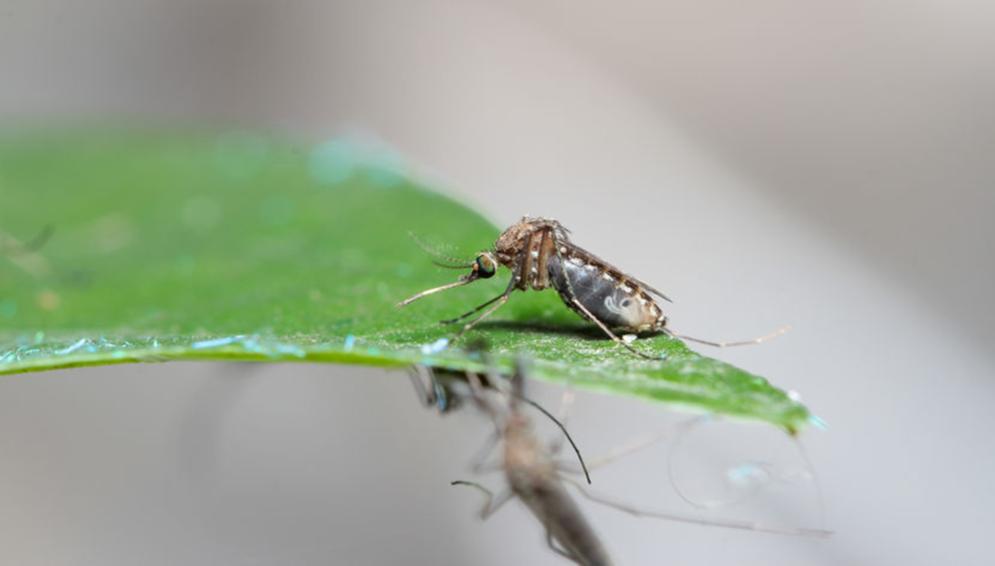 Mosquito MIM