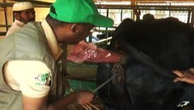 Les biotechnologies pour relancer le secteur bovin au Niger