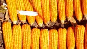 Nouveau test de diagnostic rapide de la nécrose létale du maïs au Rwanda