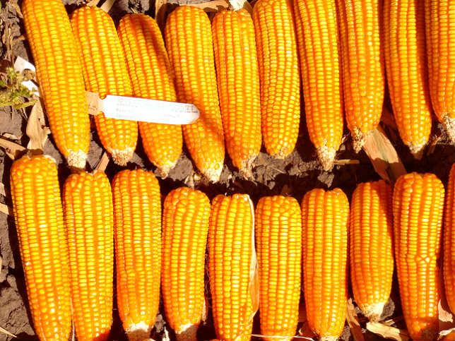 Orange Corn (Maïs orange)