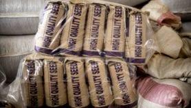 Le Kenya approuve sous condition une variété de maïs transgénique