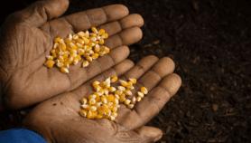 Protéger les innovations variétales en Afrique