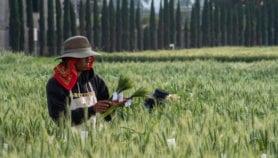 Une maladie du blé commune en Amérique du Sud se propage en Afrique