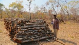 L'agroforesterie accroît les revenus des petits exploitants