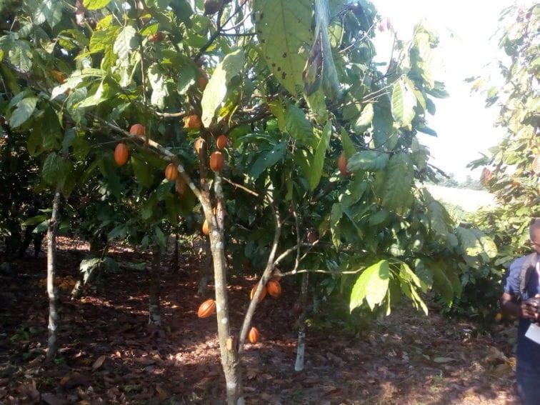 Anyama cocoa farm Côte d'Ivoire