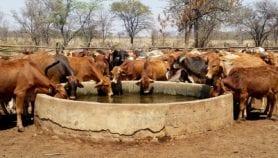 Le changement climatique menace le ravitaillement de la Côte d'Ivoire en bétail