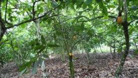 Un produit naturel vient à bout d'une grave maladie du cacaoyer