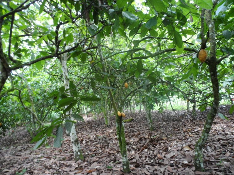 cocoa farming in Côte d'Ivoire
