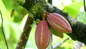 L'agroforesterie pour une culture durable du cacao