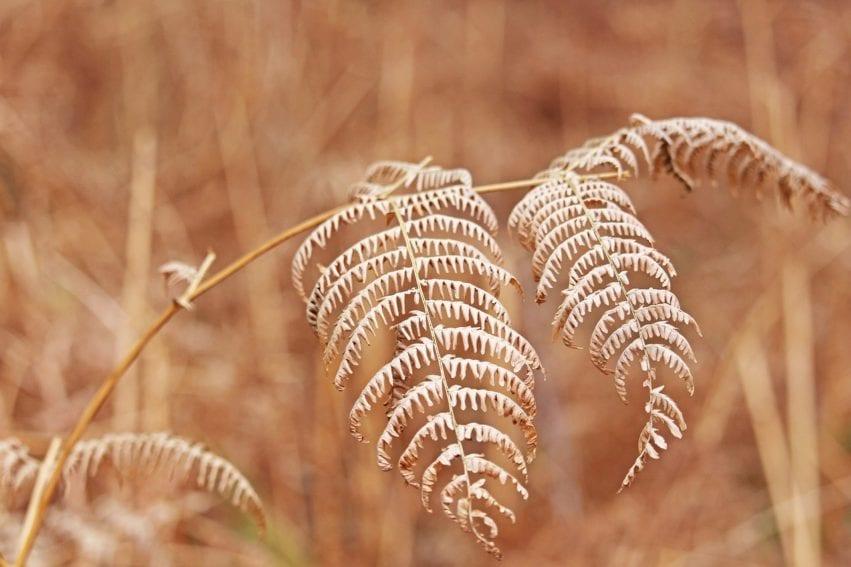 Dry fern