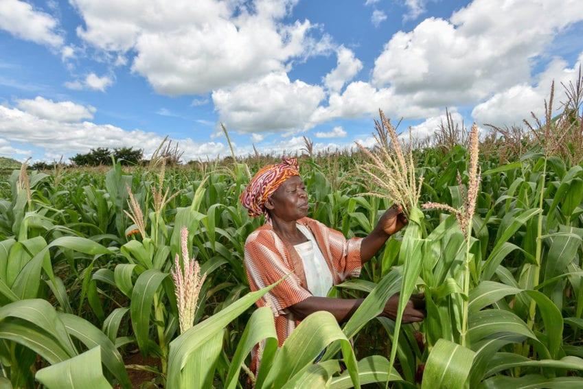 Maize crops in Malawi