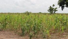 Le gène du maïs pourrait attirer les ennemis naturels des ravageurs