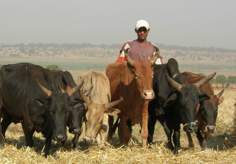 Maize, finger millet and cattle