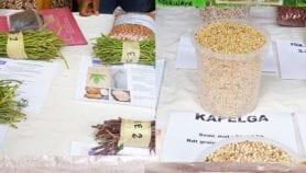 COVID-19 : Des semences améliorées pour éviter une crise alimentaire