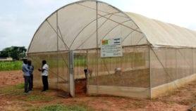 Togo : la science au secours de la filière tomate