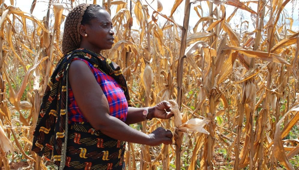 """""""Tanzanian farmer with drought-affected maize"""" by CIMMYT is licensed under CC BY-NC-SA 2.0"""