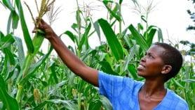 Une technique pour estimer la production du maïs avant la récolte
