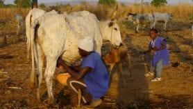 Le lait en poudre importé, une menace pour la sécurité alimentaire en Afrique