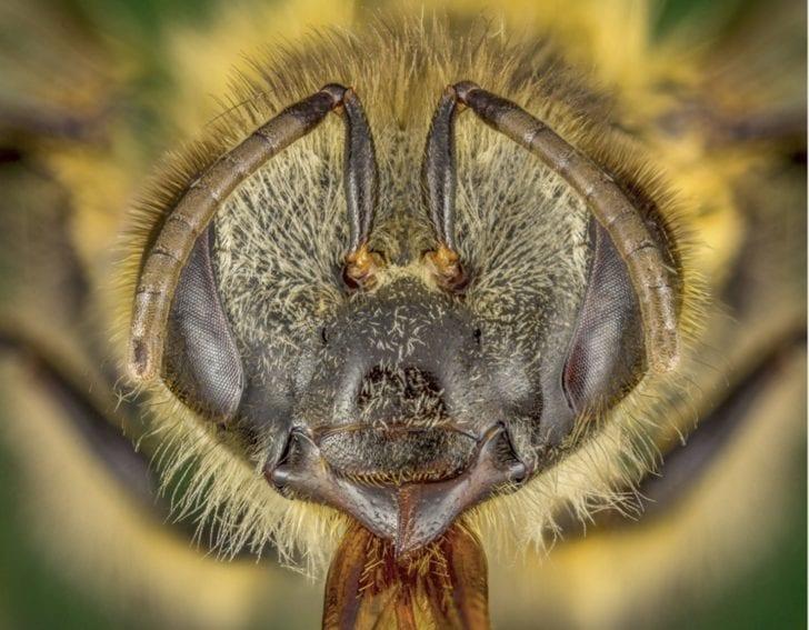Apis mellifera (Linnaeus, 1758), abeja común. Introducida de Europa en las Américas, Oceanía y el este asiático, son insectos que prestan muchos servicios al ser humano, como la polinización y producción de miel, propóleo y jalea real.