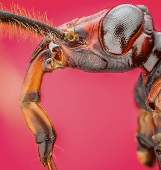 Brontostoma sp (Kirkaldy, 1904): Representante de la familia de los redúvidos (Reduviidae), son importantes predadores de los diplópodos —conocidos popularmente como ciempiés— y no causan daño al ser humano.