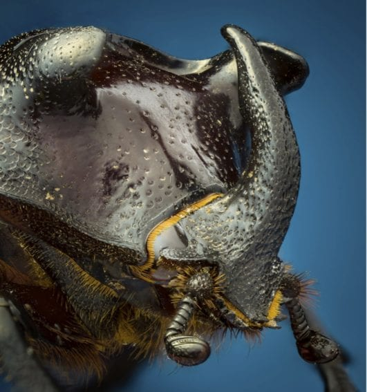 Dynastinae (MacLeay, 1819): De la subfamilia de los escarabajos Hércules, muy poderosos y capaces de levantar varias veces su peso. Tristemente son usados en luchas con apuestas en Asia, además de ser populares como mascotas.