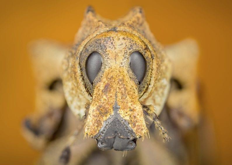 Rhigus sp (Schoenherr, 1823). Ese insecto es representante de la familia de los curculiónidos (Curculionidae), conocidos como gorgojos y picudos, que puede ser una plaga pero también se ha usado como método natural de control biológico.
