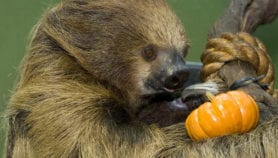 Panamá: osos perezosos albergan potenciales fármacos