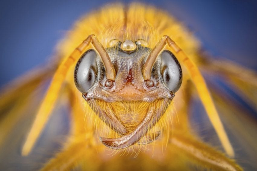 Labidus sp (Jurine, 1807), un macho alado de un género de hormigas de corrección, que se refiere al hábito alimenticio de algunas hormigas que salen en grandes grupos de la colonia y depredan vorazmente lo que encuentran. Por eso se consideran clave debido a su gran impacto en el ecosistema.