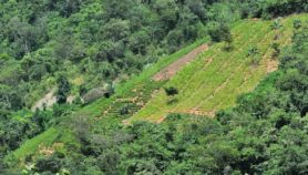 Bolivia amplía área de cultivo y usos de hoja de coca